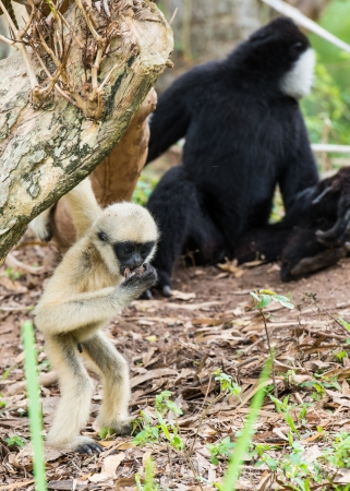 Baby white cheeked gibbon or Lar gibbon with family photo