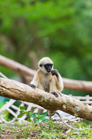 Baby white cheeked gibbon or Lar gibbon photo