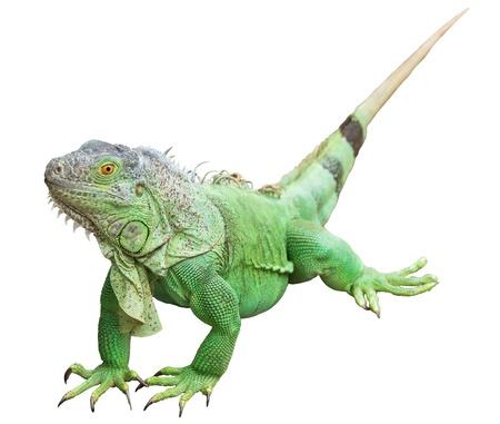 クリッピング パスを白で隔離される緑のイグアナ