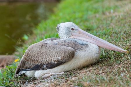 malandros: Lugar Anunciado Pelican Foto de archivo
