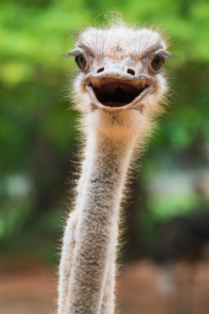 Ostrich head closeup Stockfoto