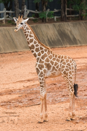 Baby giraffe photo
