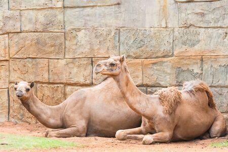 thar: Couple camel