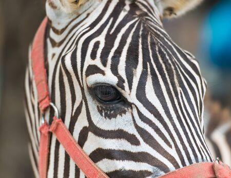 Eye of zebra photo