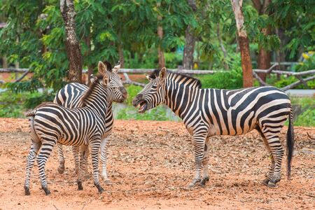 Family of zebra photo