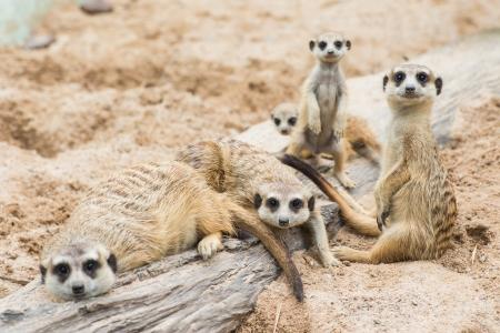 suricatta: Family of Meerkats Stock Photo