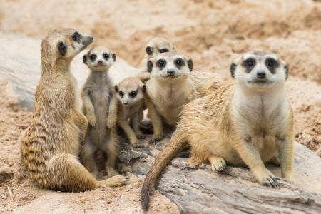 kalahari desert: Family of Meerkats Stock Photo