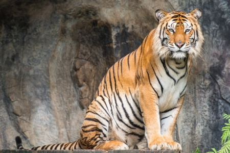 yellow tigers: Bengal tiger Stock Photo