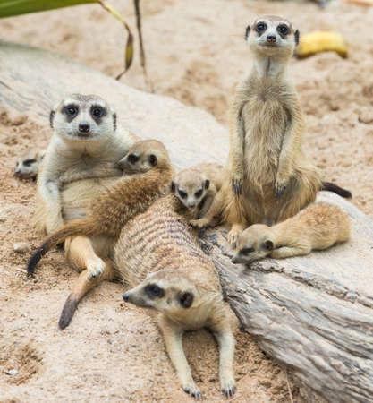 erdmaennchen: Suricate or meerkat