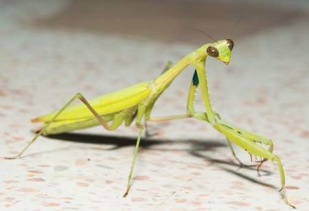 Mantis or Praying Mantis Stock Photo - 15796535