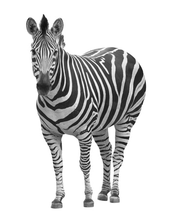 zebra on white photo