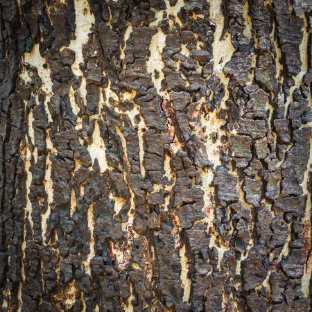 Bark of Pine Tree Stock Photo - 18079023