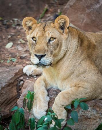 female lion: African lion