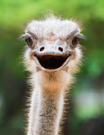 funny animal: Ostrich head closeup Stock Photo