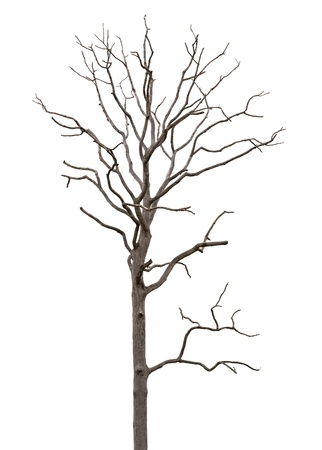 dead tree: Dead and dry tree is isolated on white background