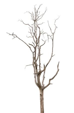 albero secco: Albero morto e secco ? isolato su sfondo bianco