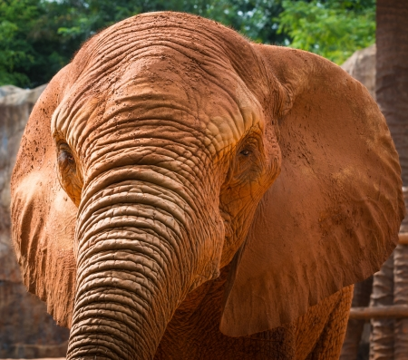 red skinned: african elephant