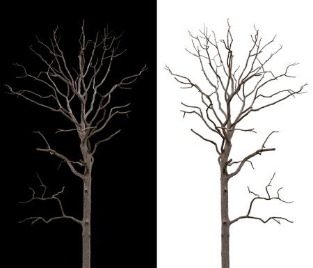 albero secco: Albero morto e secco � isolato su sfondo bianco e nero Archivio Fotografico