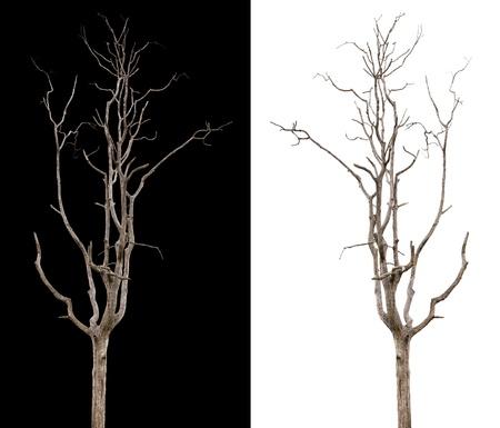 toter baum: Tote und trockenen Baum auf schwarzem und wei�em Hintergrund isoliert