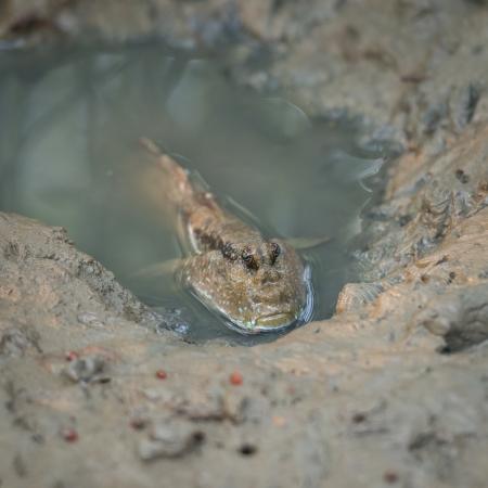 lungfish: Mudskipper Stock Photo
