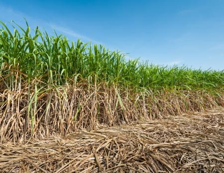 reed: Sugar cane field in blue sky