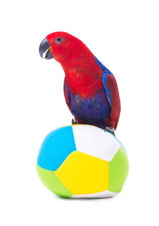 red parrot macaw with ball isolated on white background