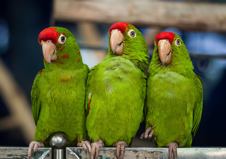 Three Green Parrot Birds Stock Photo