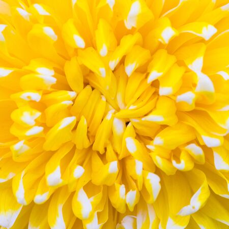 georgina: Yellow and white chrysanthemum flower centre closeup Stock Photo