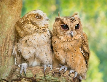 Eagle Owls Stock Photo