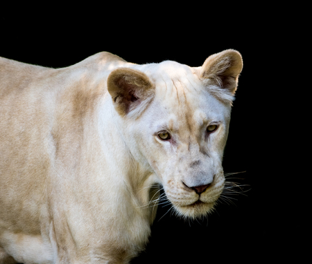 White lion isolated on black