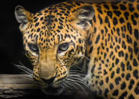 spotted fur: Jaguar