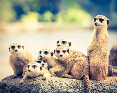 Family of Meerkats, retro vintage filter effect