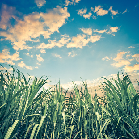 Sugar cane with nice sky - retro vintage filter effect Stock Photo