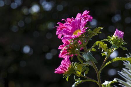 fuchsia: Fuchsia daisy flowers Stock Photo