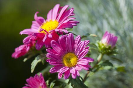 Fuchsia daisy flowers Zdjęcie Seryjne