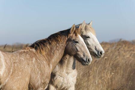 camargue: Camargue horses