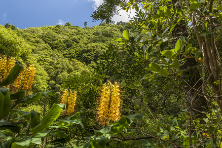 Hedychium gardnerianum flowers, a plant That is a serious invasive species in the Azores Stock Photo