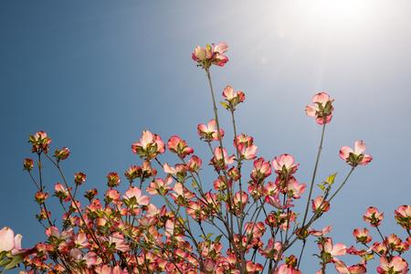 Pink dogwood blossom