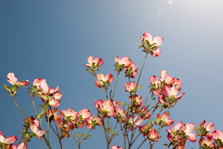 Cornus florida in bloom against a blue sky