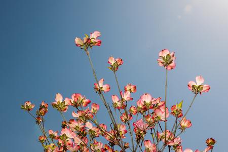 Flowering dogwood flowers Stock Photo