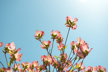 Flowering branches dogwood, Cornus florida in bloom against a blue sky Stock Photo