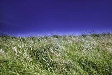 Wild grasses against blue sky