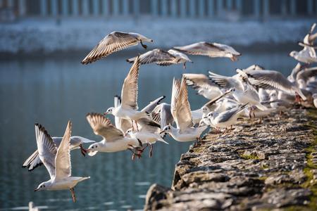 Flock of seagulls flying above the river, Maribor, Slovenia Stock Photo