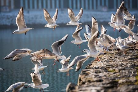 Seagulls flying against Drava river, Maribor, Slovenia