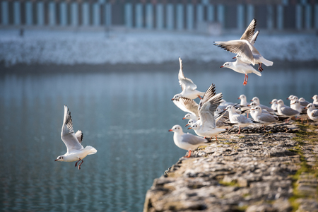 Seagulls flying, Maribor, Slovenia