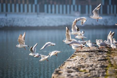 Flock of seagulls in Maribor, Slovenia