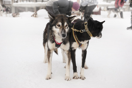 Sled dogs harnessed and ready to go Stock Photo