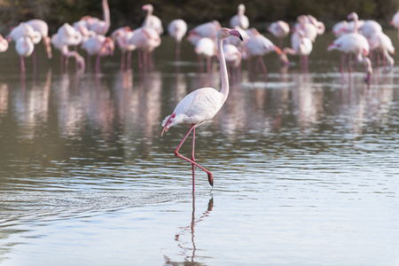 camargue: Pink flamingo walking in a lagoon