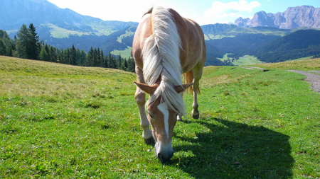 Horse grazing in a grassy meadow, the Alpe di Siusi, Dolomites, Italy