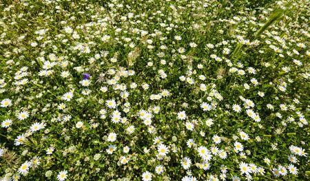 Wild white daisies on a sunny spring day Stock fotó